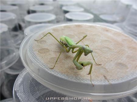 蟲草螳 商舖圖片1