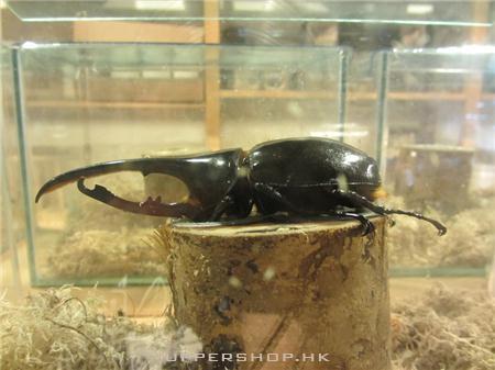 蟲森萬象甲蟲專門店